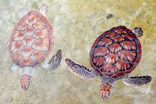 Wall Art - Photograph - Green Turtles by Carey Chen