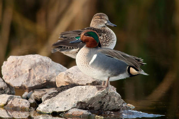 Wall Art - Photograph - Green-winged Teal Pair by Craig K. Lorenz