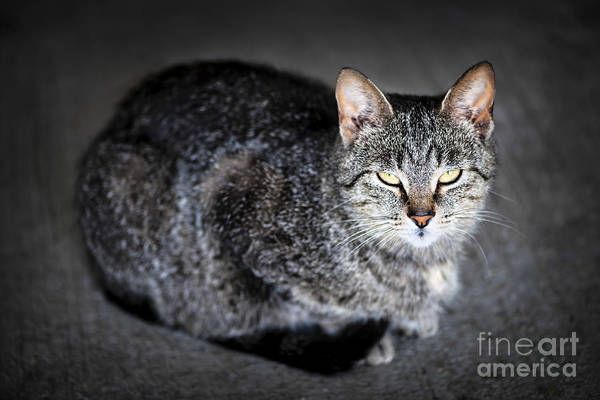 Photograph - Grey Cat Portrait by Elena Elisseeva