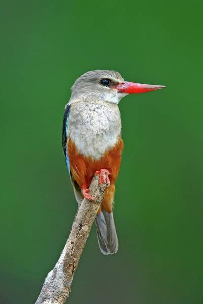 Kingfisher Photograph - Grey-headed Kingfisher On Branch by John Devries/science Photo Library