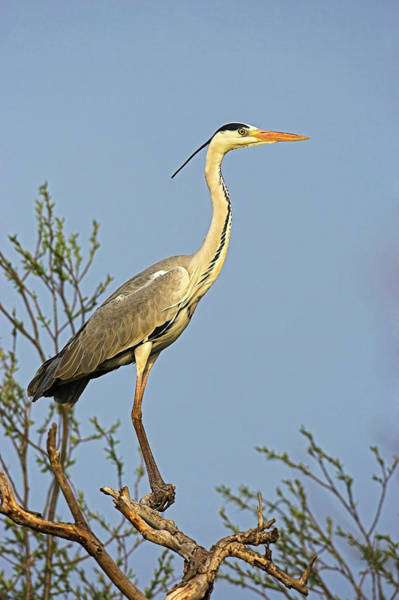 Ardea Photograph - Grey Heron (ardea Cinera by Martin Zwick
