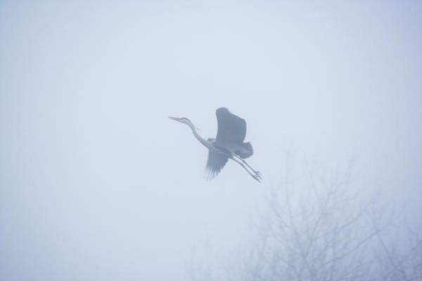 Wall Art - Photograph - Grey Heron In Flight by Simon Booth/science Photo Library