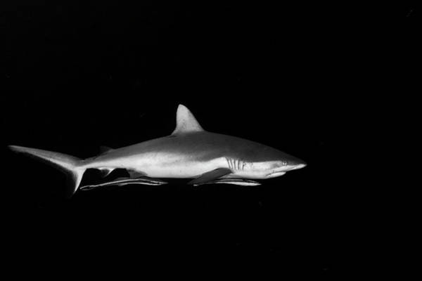 Wall Art - Photograph - Grey Reef Shark With Remoras Attached by Alessandro Cere