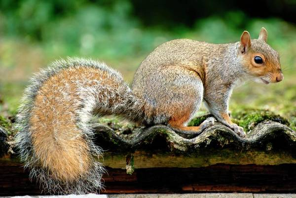 Grey Squirrel Photograph - Grey Squirrel by Ian Gowland/science Photo Library