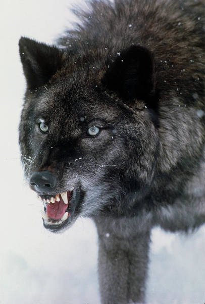 Wall Art - Photograph - Grey Wolf Snarling by William Ervin/science Photo Library