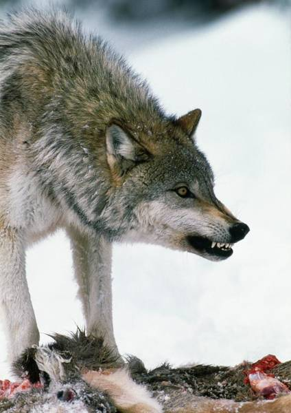 Wall Art - Photograph - Grey Wolf With A Kill by William Ervin/science Photo Library