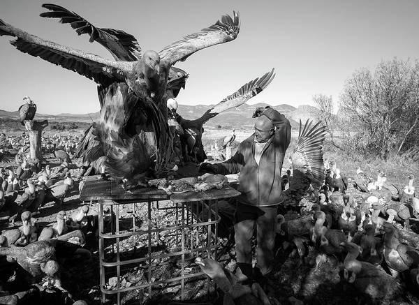 Griffon Vulture Conservation Art Print