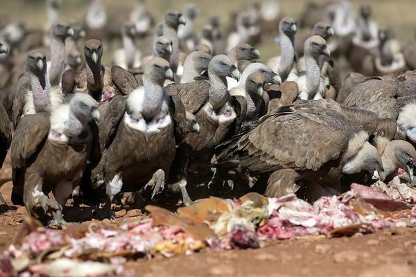 Griffon Vultures Feeding Art Print