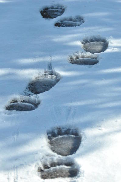 Grizzly Bear Tracks Art Print