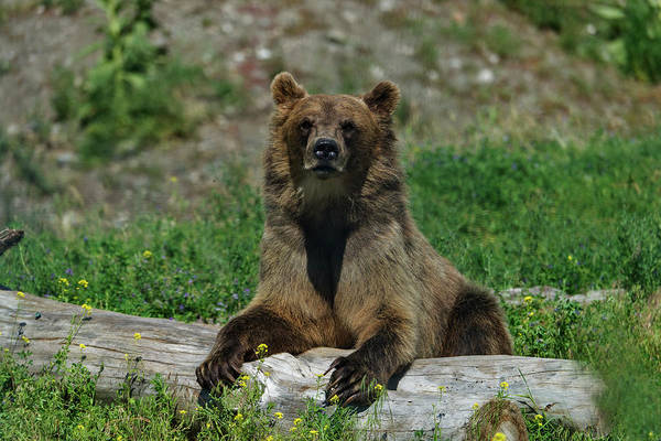 Grizzly Bear Photograph - Grizzly Bear, Ursus Arctos by Mark Newman