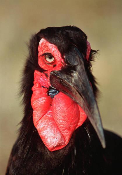 Hornbill Photograph - Ground Hornbill by Tony Camacho/science Photo Library