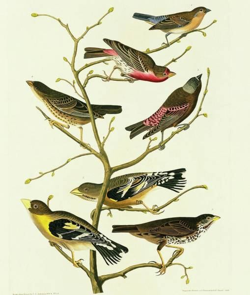 Molothrus Ater Photograph - Group Of Birds by Natural History Museum, London/science Photo Library