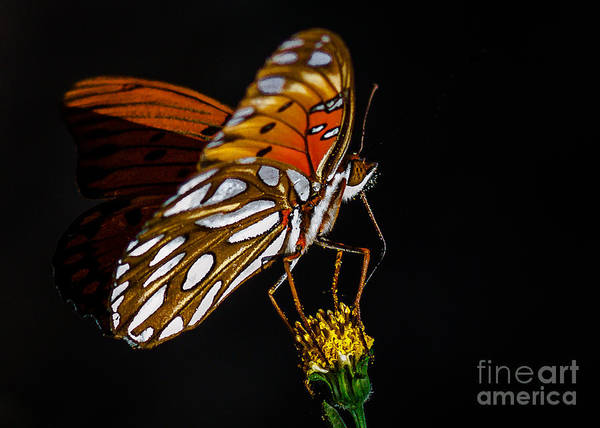 Passion Butterfly Photograph - Gulf Fritillary Aka Passion Butterfly by Kim Michaels