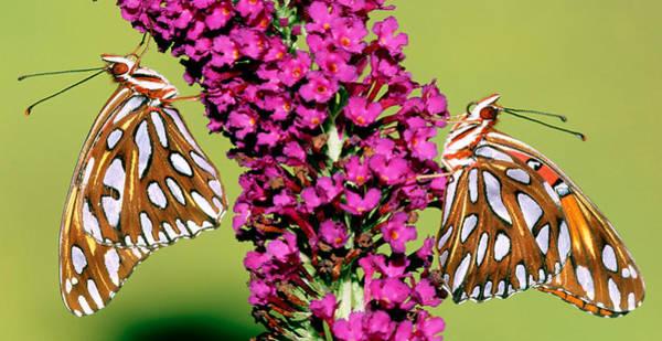 Agraulis Vanillae Photograph - Gulf Fritillary Butterflies by Millard H. Sharp