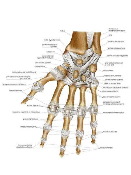 Hand Anatomy Wall Art - Photograph - Hand Joints by Asklepios Medical Atlas