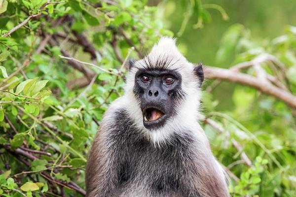 Wall Art - Photograph - Hanuman Langur by Paul Williams