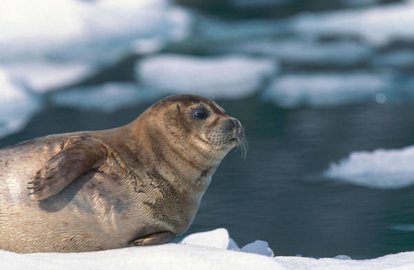 Wall Art - Photograph - Harbor Seal by F. Stuart Westmorland