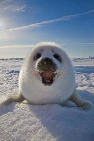 Animal Behavior Photograph - Harp Seal Pup On Ice, Iles De La by Keren Su