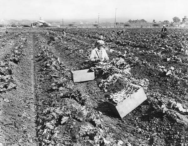 Photograph - Harvesting Rhubarb In Alameda by Underwood Archives