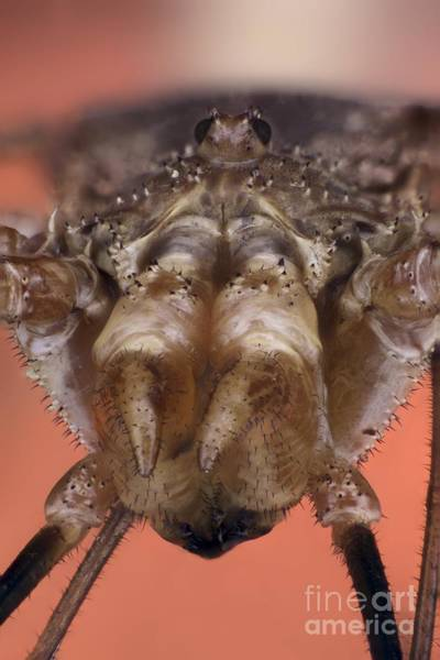Harvestman Photograph - Harvestman by Frank Fox