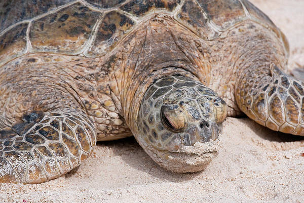 Archipelago Photograph - Hawaiian Green Turtle / Chelonia Mydas by Daisy Gilardini