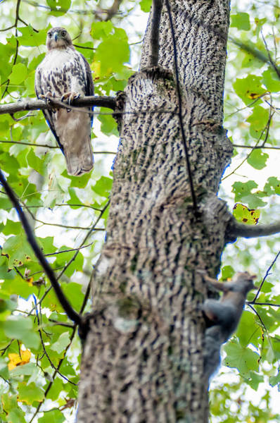 Photograph - Hawk Hunting For A Squirrel On An Oak Tree by Alex Grichenko