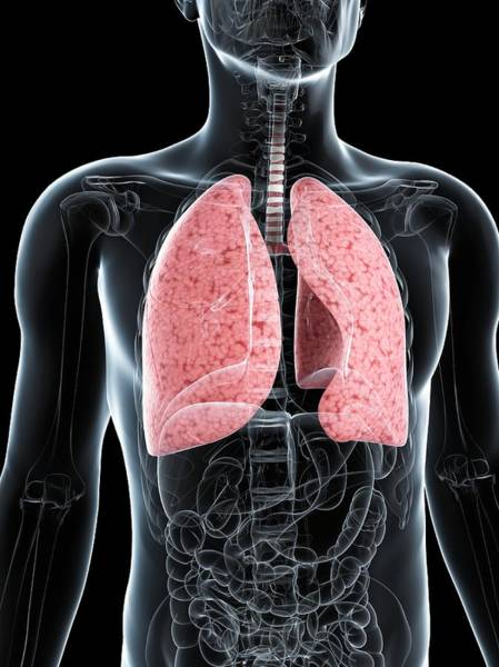 Normal Wall Art - Photograph - Healthy Lungs by Sciepro/science Photo Library