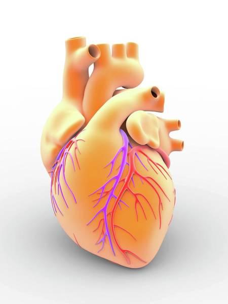 Artery Wall Art - Photograph - Heart And Coronary Arteries by Alfred Pasieka