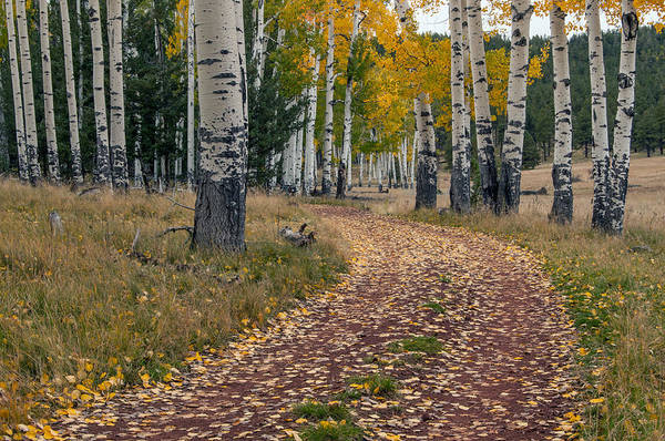Photograph - Heart Prairie Aspens by Tam Ryan