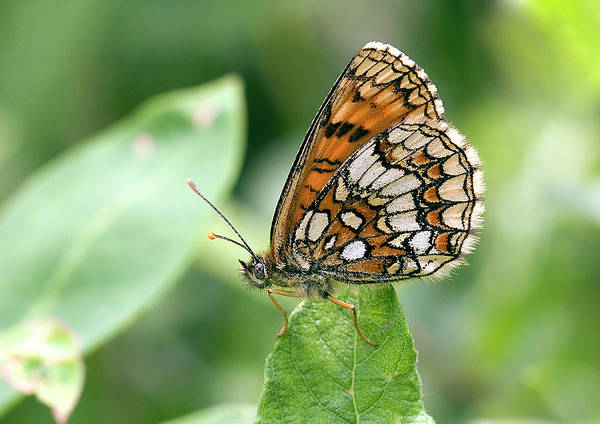 Wall Art - Photograph - Heath Fritillary Butterfly by John Devries/science Photo Library