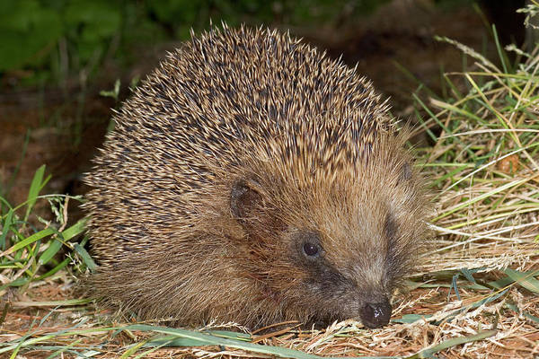 Hedgehog Photograph - Hedgehog by John Devries/science Photo Library