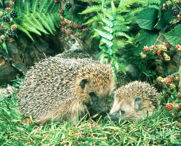 Photograph - Hedgehog With Young by Hans Reinhard