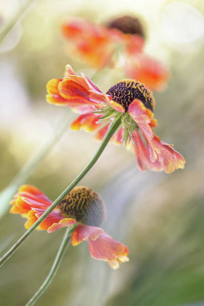 Garden Photograph - Helenium* by Mandy Disher