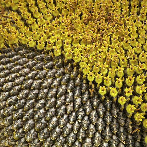 Asteraceae Photograph - Helianthus Sunflower Seeds Close Up by Mark Sykes