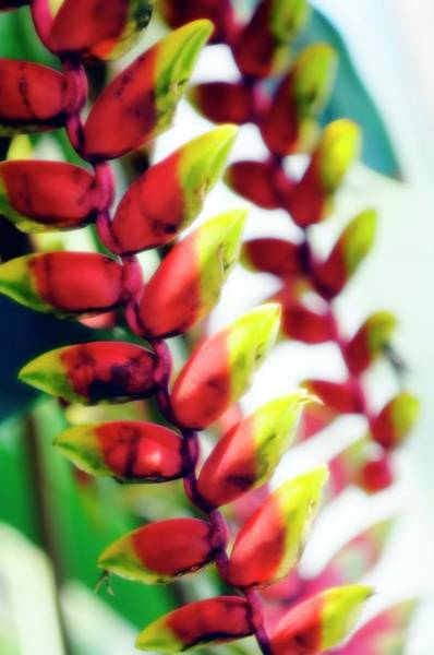 Heliconia Wall Art - Photograph - Heliconia Rostrata by Maria Mosolova/science Photo Library