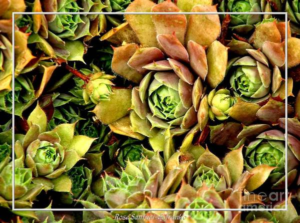 Photograph - Hens And Chick Plants by Rose Santuci-Sofranko
