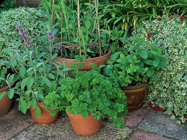 Clay Pot Photograph - Herbs In Pots by Geoff Kidd/science Photo Library