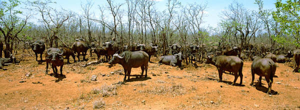 South Buffalo Photograph - Herd Of Cape Buffaloes Syncerus Caffer by Panoramic Images