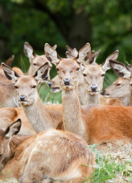Wall Art - Photograph - Herd Of Red Deer Does by John Devries/science Photo Library