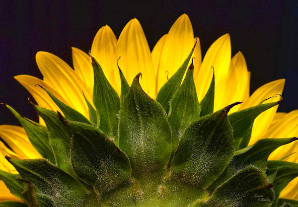 Sunflower Seeds Photograph - Here Comes The Sun by Sandi OReilly