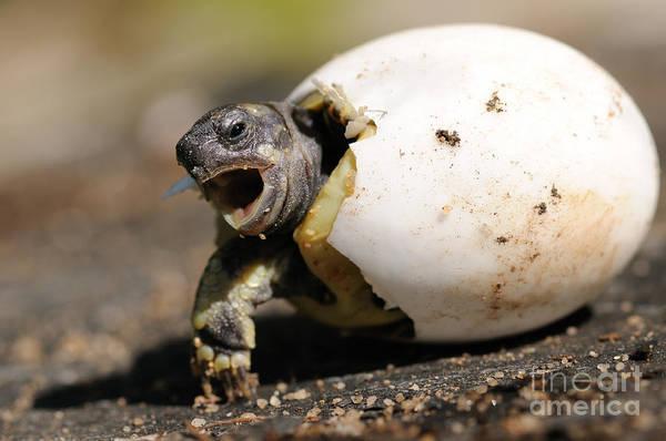 Reiner Photograph - Hermanns Tortoise Hatching by Reiner Bernhardt
