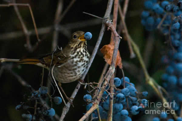 Wild Grape Photograph - Hermit Thrush by Ron Sanford