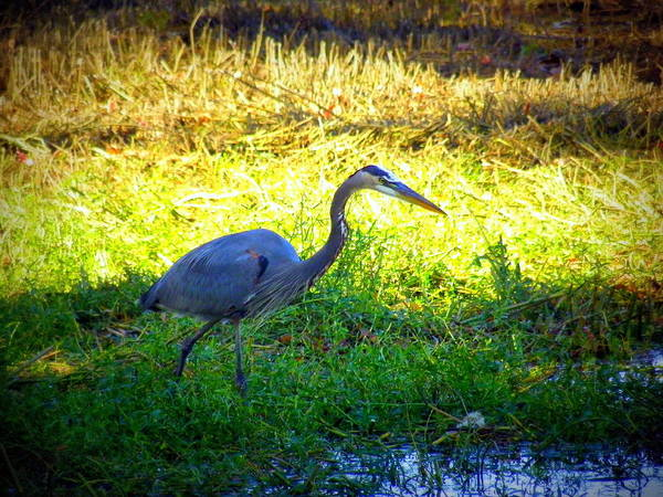 Photograph - Heron 2 by Lisa Wooten