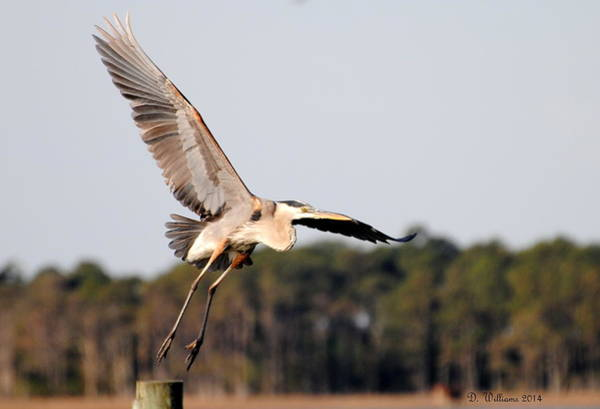Photograph - Heron Takes Flight by Dan Williams