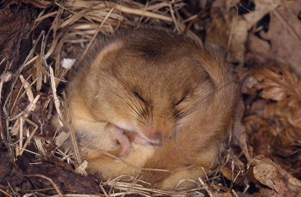 Hibernation Wall Art - Photograph - Hibernating Dormouse by M. Watson