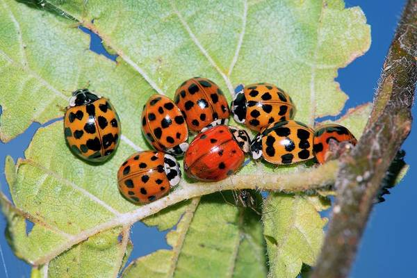 Hibernating Harlequin Ladybirds Art Print by Dr. John Brackenbury