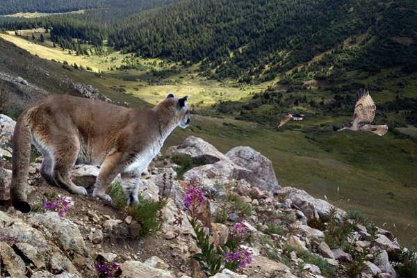 Mountain Lion Digital Art - High And Wild by Bill Stephens