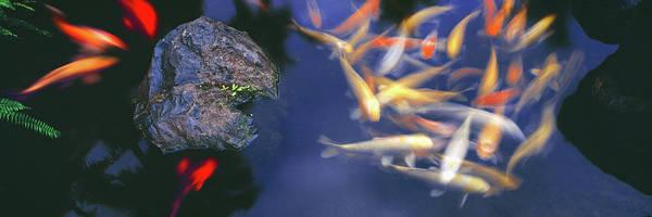 Hawaiian Fish Photograph - High Angle View Of Koi Carps Swimming by Animal Images