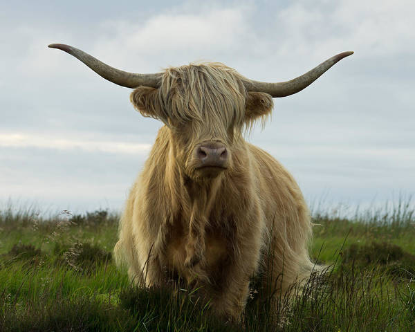Photograph - Highland Cow On Exmoor by Pete Hemington