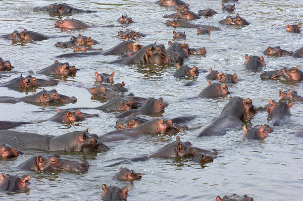 Hippo Photograph - Hippopotamuses by Dr P. Marazzi/science Photo Library